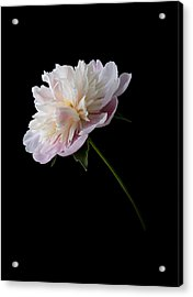 Acrylic Print featuring the photograph Pink And White Peony by Patti Deters