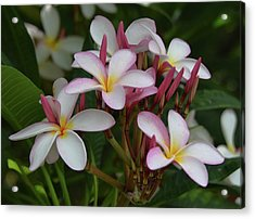 Acrylic Print featuring the photograph Pink And White Plumeria by Pamela Walton