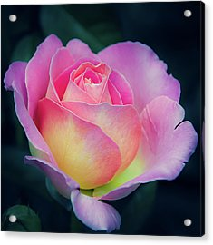Acrylic Print featuring the photograph Pink And Yellow Single Rose by Julie Palencia