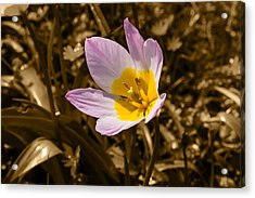 Pink And Yellow Tulip On Sepia Background Acrylic Print