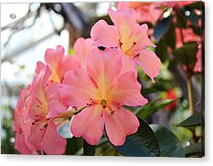 Pink And Yellow Vireya Acrylic Print