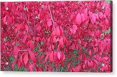 Pink Acrylic Print by Andrea Kilbane