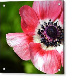 Pink Anemone Flower Acrylic Print