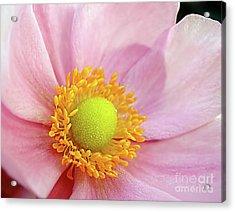 Pink Anemone Acrylic Print by Kaye Menner