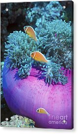 Pink Anemonefish Protect Their Purple Acrylic Print