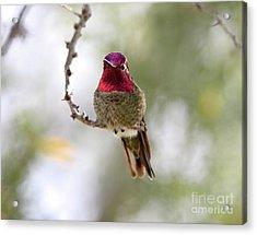 Pink Anna's Hummingbird Acrylic Print