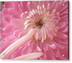 Pink Astra Acrylic Print by Alyona Firth