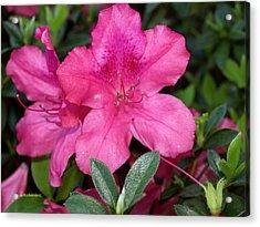 Pink Azaela Acrylic Print