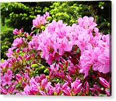 Pink Azalea Flowers Landscape 11 Art Prints Canvas Artwork Framed Art Cards Acrylic Print by Baslee Troutman