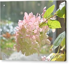 Pink Bloom In Sun Acrylic Print