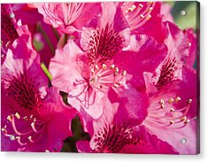 Pink Blooms Acrylic Print by Steve Kenney