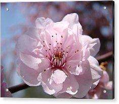 Pink Blossom Nature Art Prints 34 Tree Blossoms Spring Nature Art Acrylic Print by Baslee Troutman