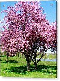 Pink Blossom Tree Acrylic Print by Marsha Heiken