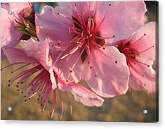 Pink Blossoms Acrylic Print by Barbara Yearty