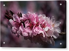 Cherry Blossoms Acrylic Print by Denise McKay