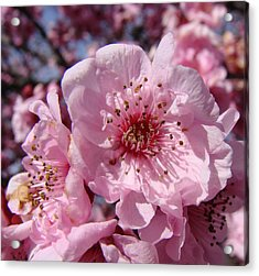Pink Blossoms Acrylic Print by Liz Vernand