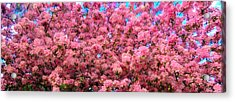 Pink Blossoms Of Spring Acrylic Print