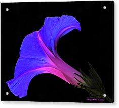 Pink Blue Flower Acrylic Print by Chaza Abou El Khair
