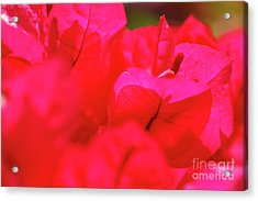 Pink Bougainvilleas Acrylic Print by Gaspar Avila