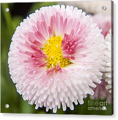 Pink Button Flower Acrylic Print by Darleen Stry