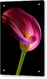 Pink Calla Lily Acrylic Print by Dung Ma
