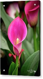 Pink Calla Acrylic Print