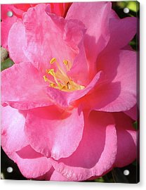 Pink Camelia Acrylic Print by Diane Ferguson