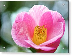 Pink Camelia Acrylic Print by Gerry Walden