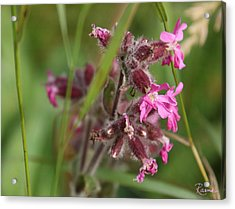 Pink Campion In August Acrylic Print