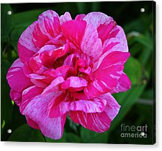 Pink Candy Stripe Rose Acrylic Print