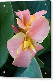 Pink Canna Lily With Raindrops Acrylic Print by Warren Thompson