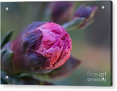 Pink Carnation Bud Close-up Acrylic Print