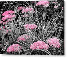 Pink Carved Cowslip Acrylic Print