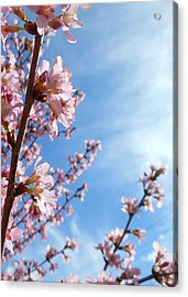 Pink Cherry Blossoms Branching Up To The Sky Acrylic Print