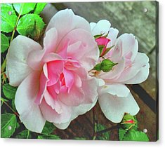 Acrylic Print featuring the photograph Pink Cluster Of Roses by Janette Boyd