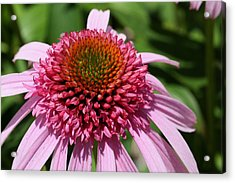Pink Coneflower Close-up Acrylic Print