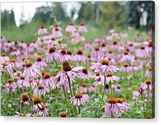 Pink Coneflowers Acrylic Print by Yoko Maria