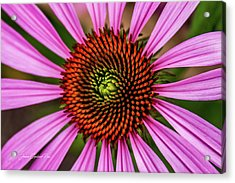 Acrylic Print featuring the photograph Pink Cornflower by Joann Copeland-Paul
