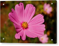 Pink Cosmos Acrylic Print by Beth Collins
