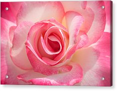 Pink Cotton Candy Rose Acrylic Print
