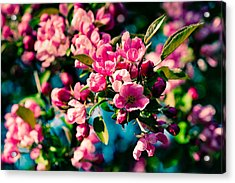 Acrylic Print featuring the photograph Pink Crab Apple Flowers by Alexander Senin