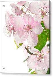Pink Crabapple Blissoms Acrylic Print