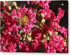 Acrylic Print featuring the photograph Pink Crepe Myrtle Flowers by Debi Dalio
