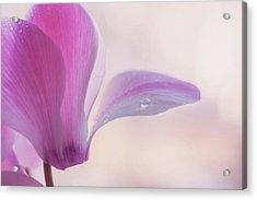 Pink Cyclamen Flower Acrylic Print