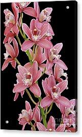 Pink Cymbidium Orchid Acrylic Print