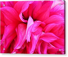 Pink Dahlia Acrylic Print by Kristin Elmquist