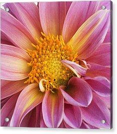 Pink Dahlia Acrylic Print by Tony Ramos