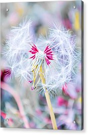 Pink Dandelion Acrylic Print by Parker Cunningham
