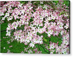 Acrylic Print featuring the photograph Pink Dogwood Flowers by Edward Fielding