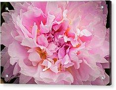 Pink Double Peony Acrylic Print